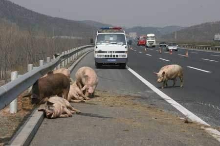 高速上突然闯出动物怎么办是急刹还是撞上去做错了很危险